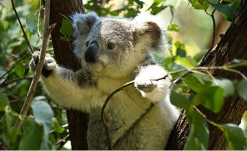 The NSW Government makes peace with itself over the Koala SEPP